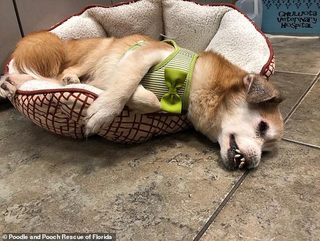 Chú chó bị bệnh không có mũi, răng cái nọ xọ cái kia - tưởng khốn khổ nhất đời ai ngờ lại thành sao MXH - Ảnh 2.