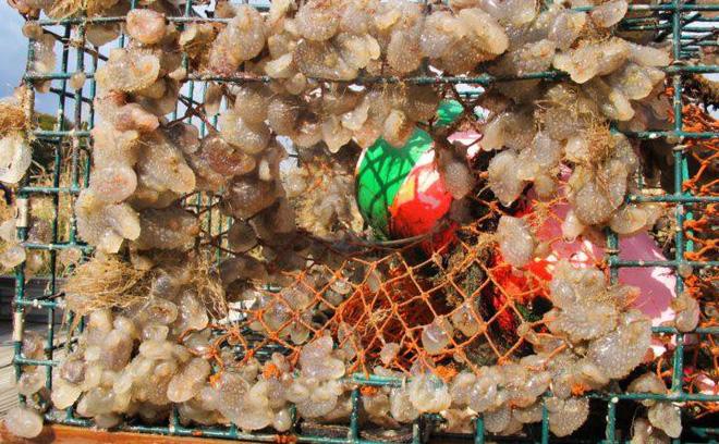 Pha dậy thì thất bại của loài hải tiêu: Lúc nhỏ xinh lắm ai ơi, lớn lên xấu xí tự xơi não mình - Ảnh 8.
