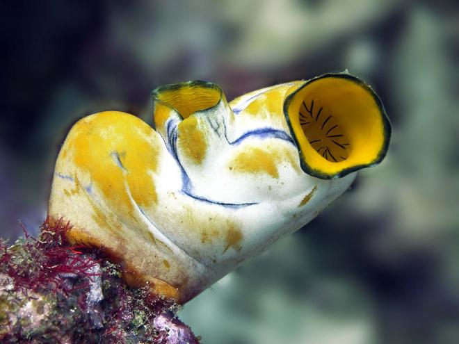 Pha dậy thì thất bại của loài hải tiêu: Lúc nhỏ xinh lắm ai ơi, lớn lên xấu xí tự xơi não mình - Ảnh 6.