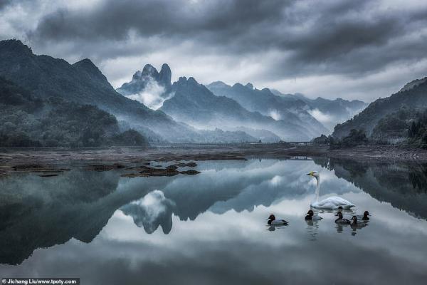 7377460 6491533 jichang liu captured this charming image of a swan and ducks swi a 127 1544704166699