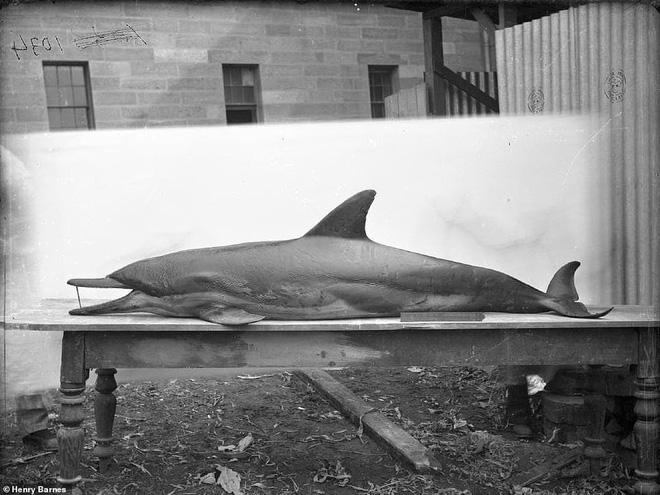 Lần đầu công bố ảnh những sinh vật to lớn kì bí ở Úc hơn 150 năm trước - Ảnh 18.
