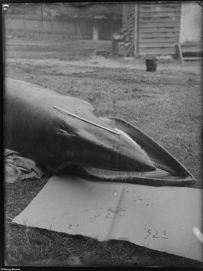 Lần đầu công bố ảnh những sinh vật to lớn kì bí ở Úc hơn 150 năm trước - Ảnh 14.